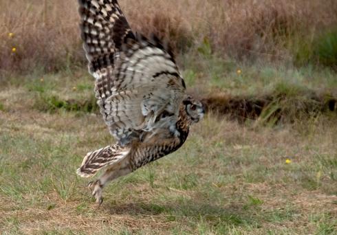 cape-eagle-owl-1