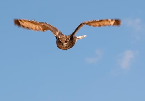 cape-eagle-owl-2