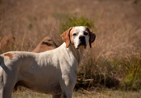 hunting-dog